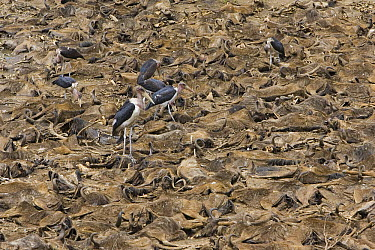 Marabou Stork (Leptoptilos crumeniferus) standing and foraging on wildebeest carcasses in Mara River, Masai Mara, Kenya  -  Suzi Eszterhas