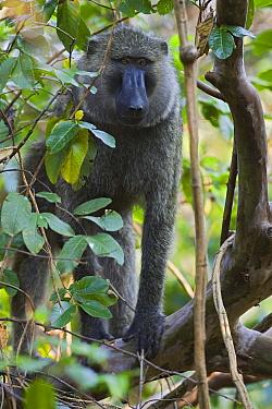 Olive Baboon (Papio anubis), Gombe Stream Chimp Reserve, Tanzania  -  Suzi Eszterhas