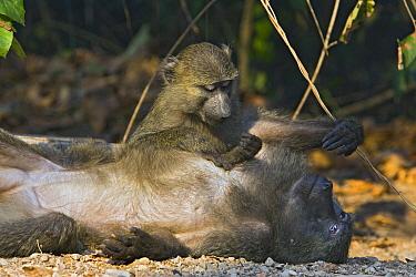 Olive Baboon (Papio anubis) adolescent grooming adult female, Gombe Stream Chimp Reserve, Tanzania  -  Suzi Eszterhas