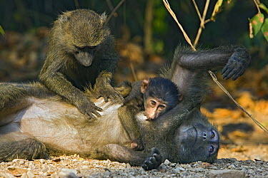 Olive Baboon (Papio anubis) adolescent and infant grooming adult female, Gombe Stream Chimp Reserve, Tanzania  -  Suzi Eszterhas