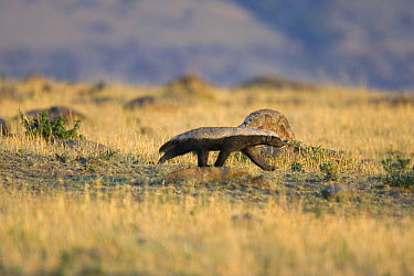 Honey Badger (Mellivora capensis) walking through grassland, Masai Mara, Kenya  -  Suzi Eszterhas