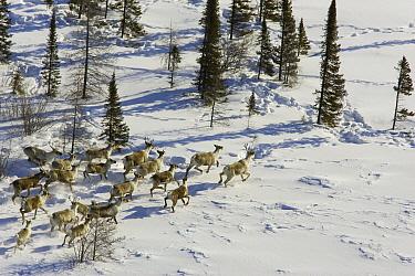 Caribou (Rangifer tarandus) herd running, Wapusk National Park, Canada  -  Suzi Eszterhas