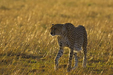 Cheetah (Acinonyx jubatus) heavily pregnant female, Masai Mara, Kenya  -  Suzi Eszterhas