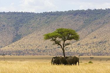 African Elephant (Loxodonta africana) herd resting in shade, Masai Mara, Kenya  -  Suzi Eszterhas