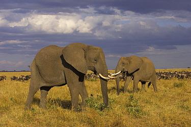 African Elephant (Loxodonta africana) pair, Masai Mara, Kenya  -  Suzi Eszterhas