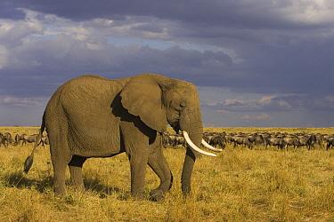 African Elephant (Loxodonta africana) walking across grassland, Masai Mara, Kenya  -  Suzi Eszterhas