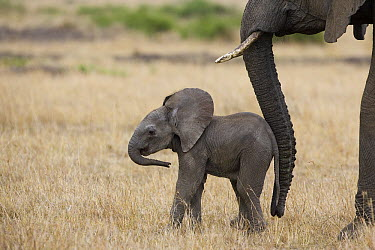 African Elephant (Loxodonta africana) mother and less than 3 weeks old calf, Masai Mara, Kenya  -  Suzi Eszterhas