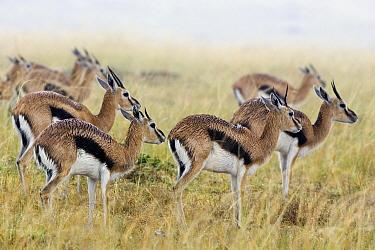 Thomson's Gazelle (Eudorcas thomsonii) herd wet from rain, Masai Mara, Kenya  -  Suzi Eszterhas