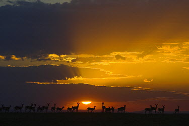Thomson's Gazelle (Eudorcas thomsonii) herd at sunset, Masai Mara, Kenya  -  Suzi Eszterhas