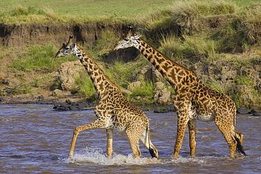 Masai Giraffe (Giraffa tippelskirchi) pair crossing the Mara River, Masai Mara, Kenya  -  Suzi Eszterhas