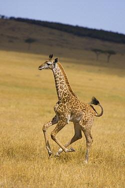 Masai Giraffe (Giraffa tippelskirchi) less than 3 week old calf running, Masai Mara, Kenya  -  Suzi Eszterhas