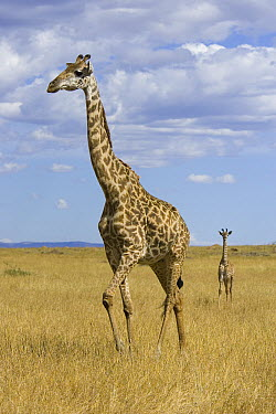 Masai Giraffe (Giraffa tippelskirchi) mother and less than 3 week old calf, Masai Mara, Kenya  -  Suzi Eszterhas