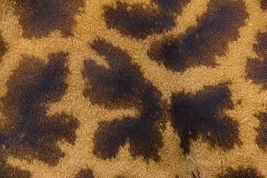 Masai Giraffe (Giraffa tippelskirchi) skin, Masai Mara, Kenya  -  Suzi Eszterhas