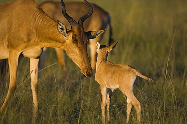 Coke's Hartebeest (Alcelaphus buselaphus cokii) mother and baby, Masai Mara, Kenya  -  Suzi Eszterhas