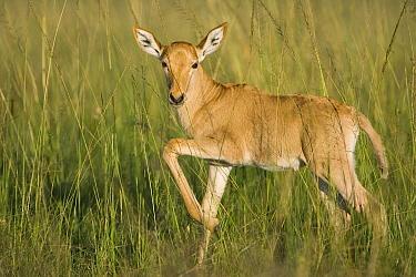 Coke's Hartebeest (Alcelaphus buselaphus cokii) baby, Masai Mara, Kenya  -  Suzi Eszterhas