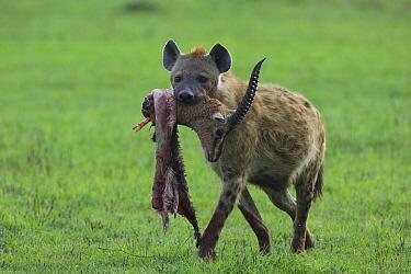Spotted Hyena (Crocuta crocuta) carrying male Thomson's Gazelle (Eudorcas thomsonii) head, Masai Mara, Kenya  -  Suzi Eszterhas
