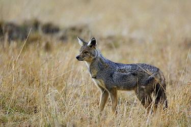 Side-striped Jackal (Canis adustus), Masai Mara, Kenya  -  Suzi Eszterhas