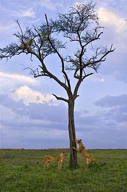 Leopard (Panthera pardus) pair trapped in tree by African Lions (Panthera leo), Masai Mara, Kenya  -  Suzi Eszterhas