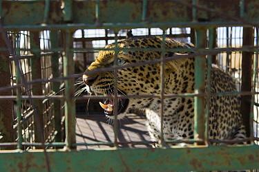 Leopard (Panthera pardus) trapped on farmland awaits release in protected area, Masai Mara, Kenya  -  Suzi Eszterhas