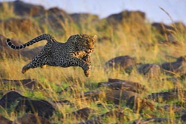 Leopard (Panthera pardus) running, Masai Mara, Kenya  -  Suzi Eszterhas