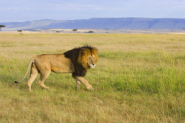 African Lion (Panthera leo) male walking across grassland, Masai Mara, Kenya  -  Suzi Eszterhas
