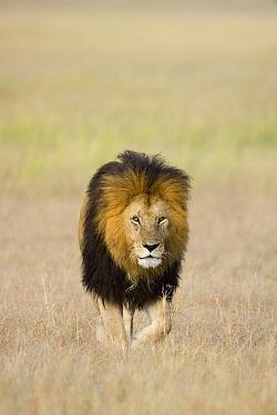 African Lion (Panthera leo) male, Masai Mara, Kenya  -  Suzi Eszterhas