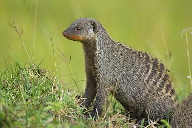 Banded Mongoose (Mungos mungo) looking for danger, Masai Mara, Kenya  -  Suzi Eszterhas