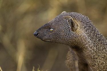 Egyptian Mongoose (Herpestes ichneumon) portrait, Masai Mara, Kenya  -  Suzi Eszterhas