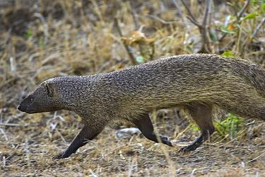 Egyptian Mongoose (Herpestes ichneumon) running, Masai Mara, Kenya  -  Suzi Eszterhas