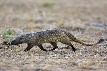 Egyptian Mongoose (Herpestes ichneumon), Masai Mara, Kenya  -  Suzi Eszterhas