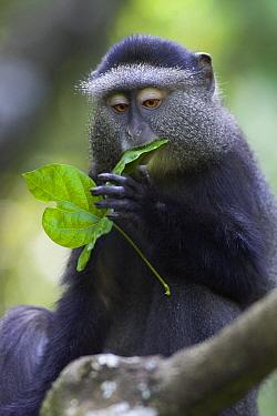Blue Monkey (Cercopithecus mitis) eating leaf, Kichwa Tembo Forest, Masai Mara, Kenya  -  Suzi Eszterhas