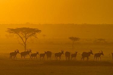 Topi (Damaliscus lunatus) herd, Masai Mara, Kenya  -  Suzi Eszterhas