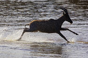 Topi (Damaliscus lunatus) crossing Mara River, Masai Mara, Kenya  -  Suzi Eszterhas