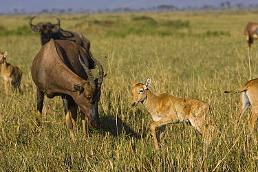 Topi (Damaliscus lunatus) mother and less than 3 days old foal, Masai Mara, Kenya  -  Suzi Eszterhas