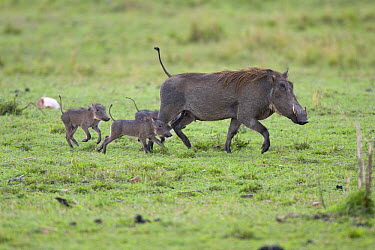 Cape Warthog (Phacochoerus aethiopicus) mother and very young piglets, Masai Mara, Kenya  -  Suzi Eszterhas