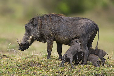 Cape Warthog (Phacochoerus aethiopicus) mother and very young piglets nursing, Masai Mara, Kenya  -  Suzi Eszterhas