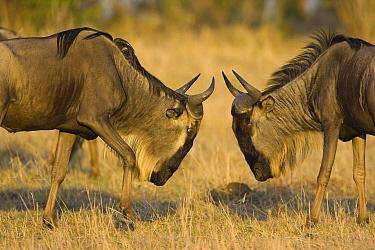 Blue Wildebeest (Connochaetes taurinus) bulls fighting, Masai Mara, Kenya  -  Suzi Eszterhas