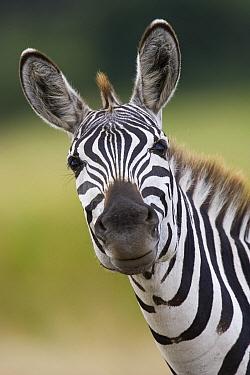 Burchell's Zebra (Equus burchellii) portrait, Masai Mara, Kenya  -  Suzi Eszterhas