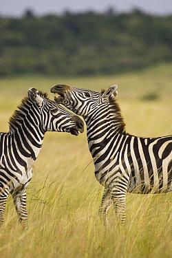 Burchell's Zebra (Equus burchellii) stallions sparring, Masai Mara, Kenya  -  Suzi Eszterhas