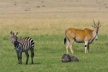 Burchell's Zebra (Equus burchellii), Cape Warthog (Phacochoerus aethiopicus) and Common Eland (Tragelaphus oryx), Masai Mara, Kenya  -  Suzi Eszterhas