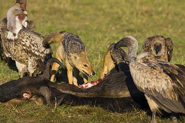 Black-backed Jackal (Canis mesomelas) pair scavenging wildebeest carcass along with Ruppell's Griffons (Gyps rueppellii), Masai Mara, Kenya  -  Suzi Eszterhas