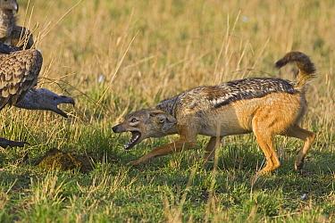 Black-backed Jackal (Canis mesomelas) facing off with Ruppell's Griffon (Gyps rueppellii), Masai Mara, Kenya  -  Suzi Eszterhas
