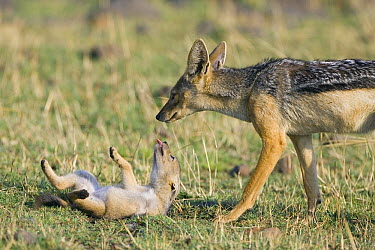 Black-backed Jackal (Canis mesomelas) with playful four week old pup begging for attention, Masai Mara, Kenya  -  Suzi Eszterhas