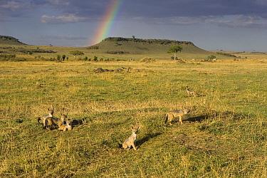 Black-backed Jackal (Canis mesomelas) pups, eight weeks old, at den with rainbow in background, Masai Mara, Kenya  -  Suzi Eszterhas