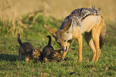 Black-backed Jackal (Canis mesomelas) chewing with two pups smelling the meat, Masai Mara, Kenya  -  Suzi Eszterhas