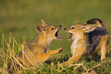 Black-backed Jackal (Canis mesomelas) pups, six weeks old, playing, Masai Mara, Kenya  -  Suzi Eszterhas