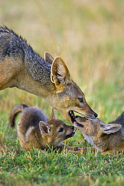 Black-backed Jackal (Canis mesomelas) interacting with four week old pups, Masai Mara, Kenya  -  Suzi Eszterhas
