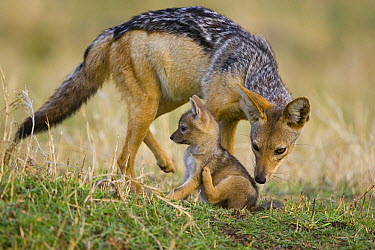 Black-backed Jackal (Canis mesomelas) smelling three week old pup, Masai Mara, Kenya  -  Suzi Eszterhas