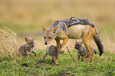 Black-backed Jackal (Canis mesomelas) with three week old pups, Masai Mara, Kenya  -  Suzi Eszterhas