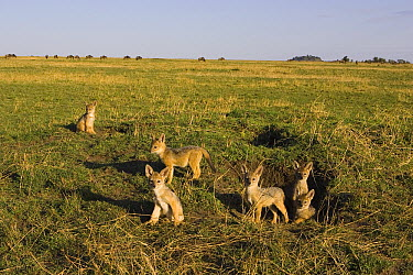 Black-backed Jackal (Canis mesomelas) pups at den entrance, Masai Mara, Kenya  -  Suzi Eszterhas